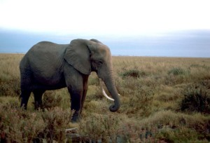 african-elephant-male